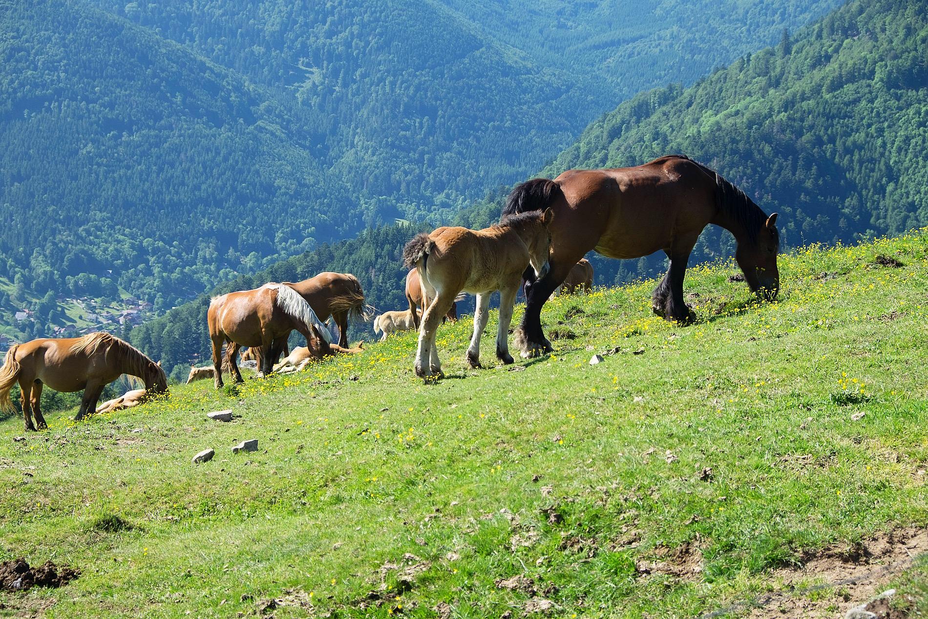 elsass vogesen wandern kahlwasen pferde val munster