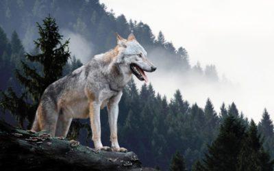 Die Wölfe in den Vogesen