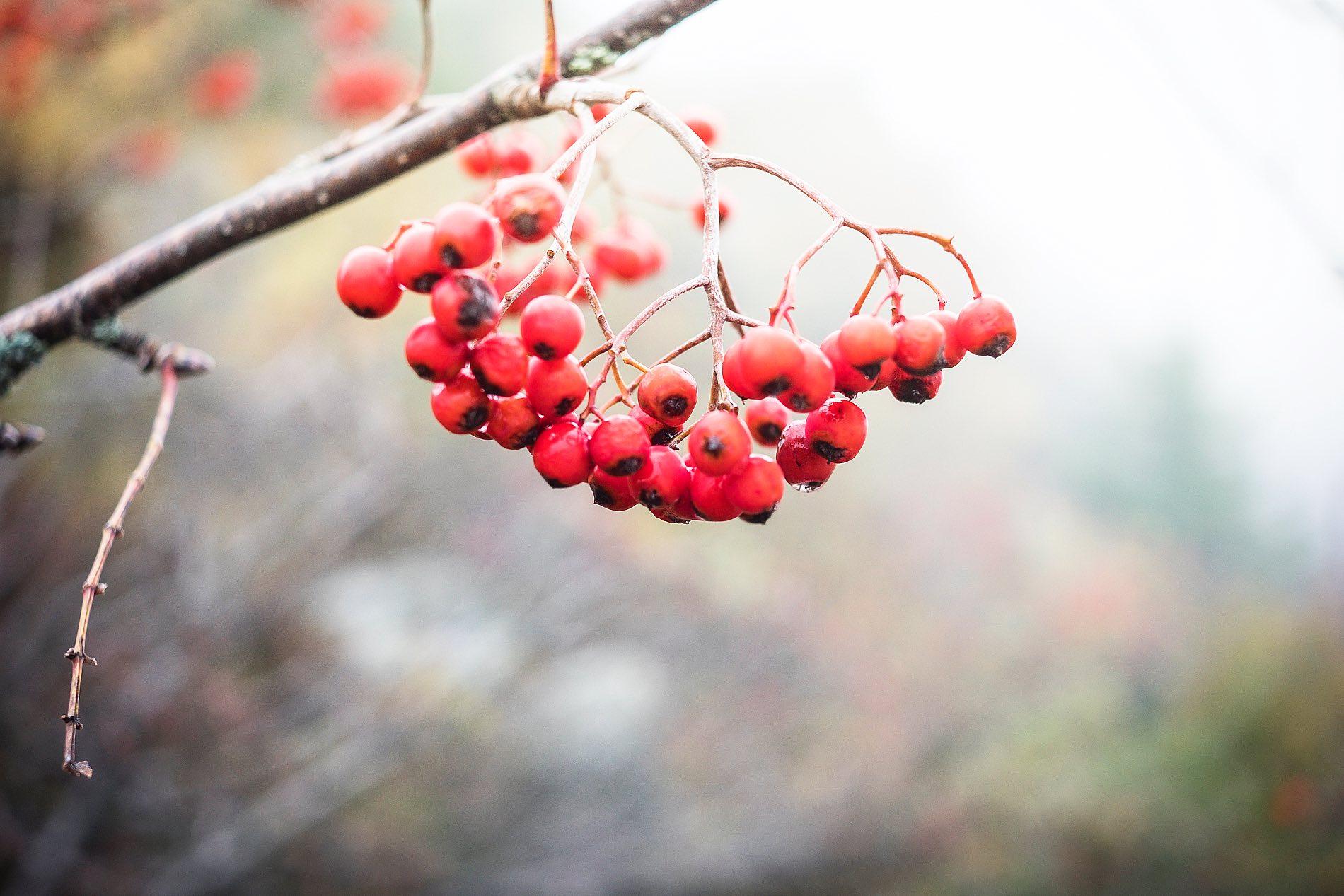 Vogesen Elsass wandern Beeren Herbstwanderung